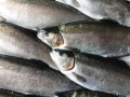 our sustainably grown rainbow trout