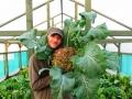our giant Broccoli harvest