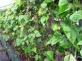 Blauhilde Bean forest