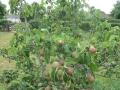 Lush Pear trees