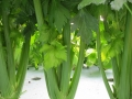 Aquaponic Celery