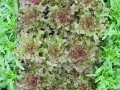 Barba de Frati and Oak leaves
