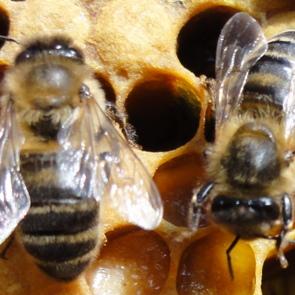 bees mini 2