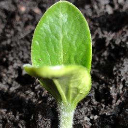 seedling mini